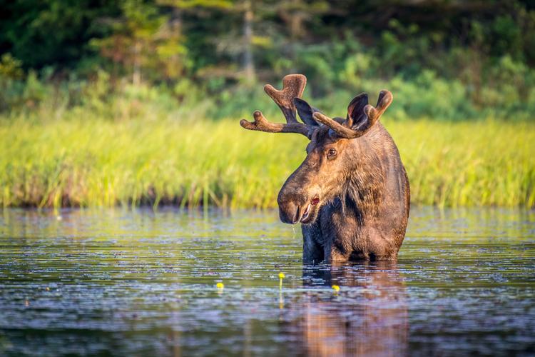 Moose in wetlands