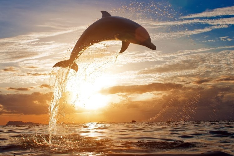 Dolphins are in abundance in Cape Coral Florida