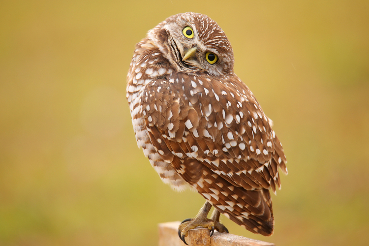 The burrowing owl is the official bird of Cape Coral