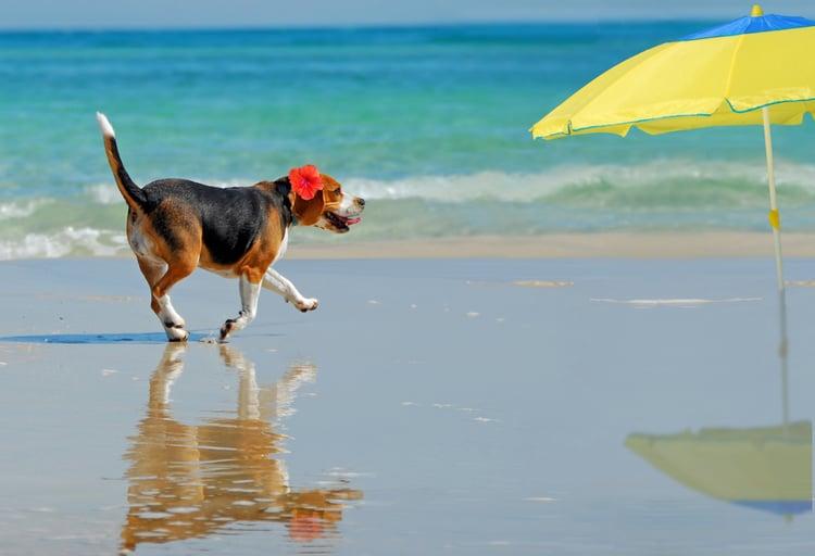 Dog on beach at Cape San Blas