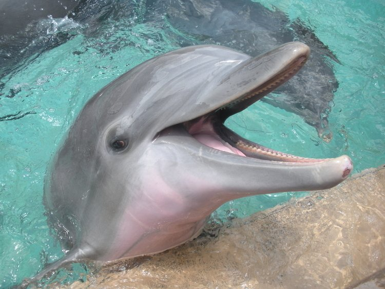 Dolphin by the poolside