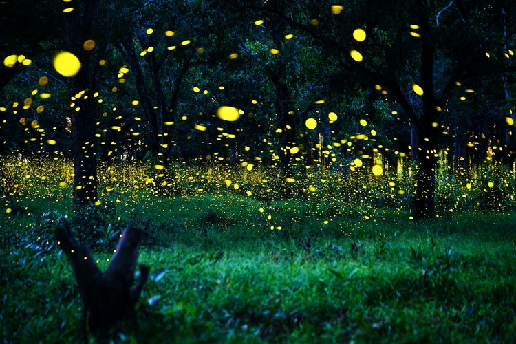 Synchronous fireflies in Great Smoky Mountains National Park