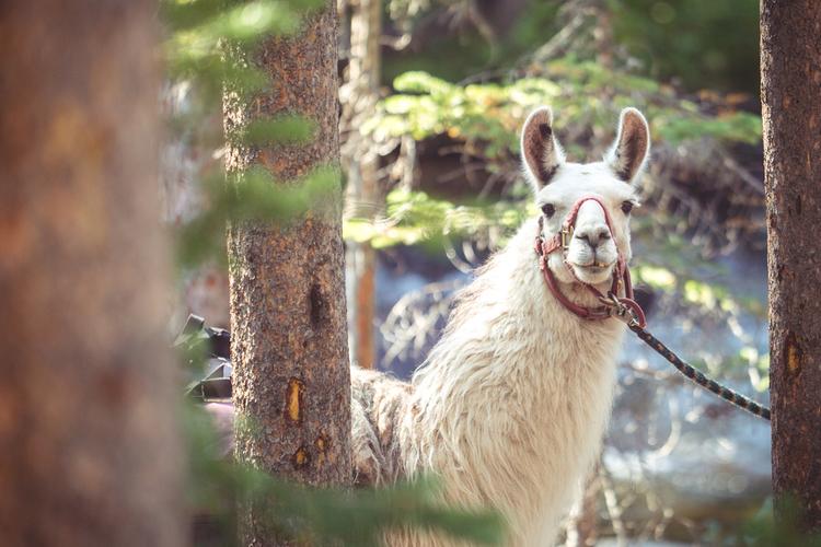 Llama Treks Great Smoky Mountains