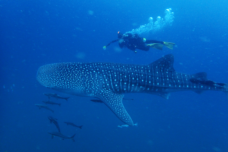 Swim alongside whale sharks in Cabo Mexico