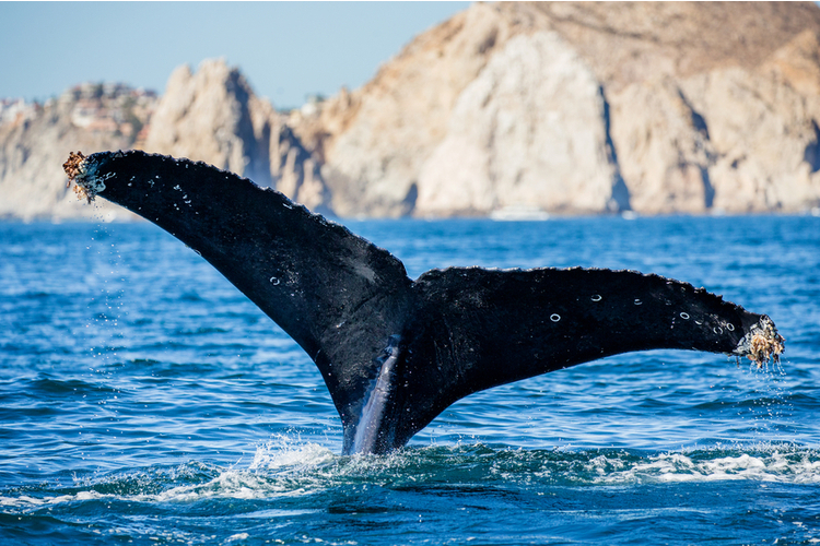 Whale watching season is the best time to visit Cabo San Lucas
