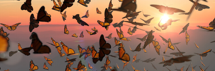 A swarm of Monarch Butterflies in front of the setting sun.