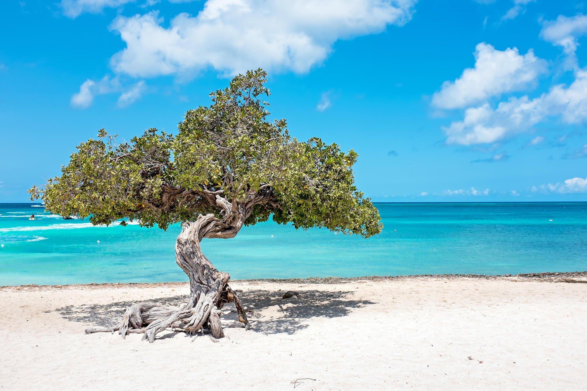 A tree on the beach in Aruba