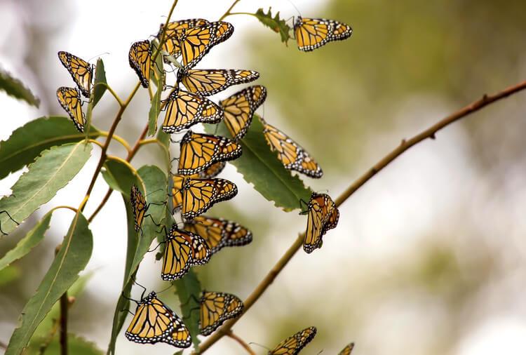 Monarch butterflies on a California tree